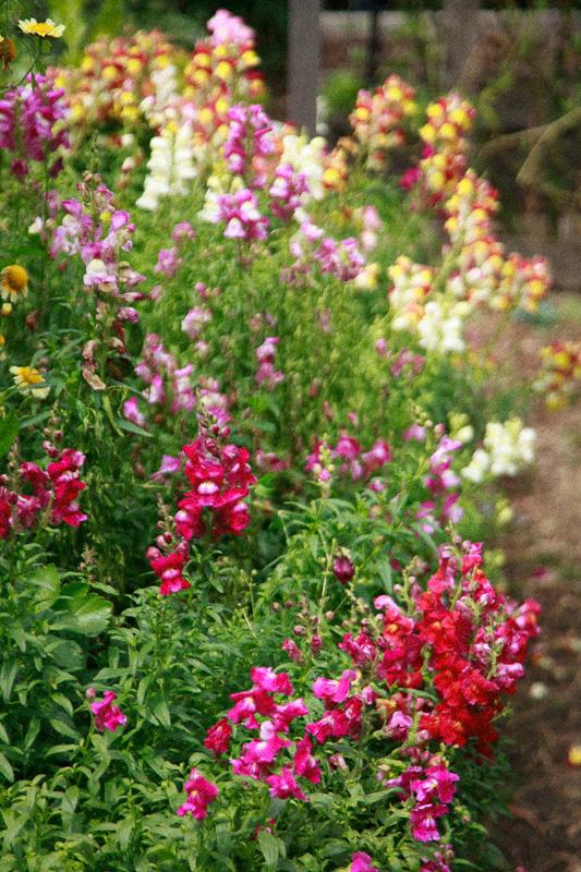 Snap Dragon Garden Border