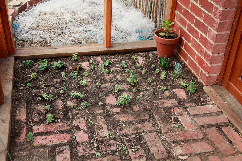 Growing sedum between the greenhouse pavers.