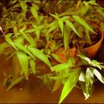 Persicaria odorata flowers