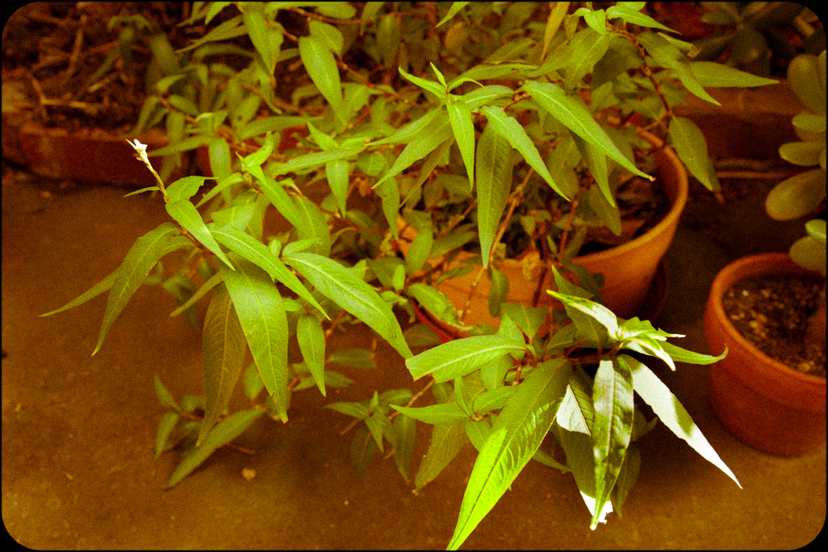 Persicaria odorata, Vietnamese coriander