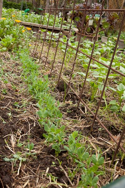 Peas and trellis - Rio steel mesh, makes a great trellis, it is very strong, and bends to form an arch.