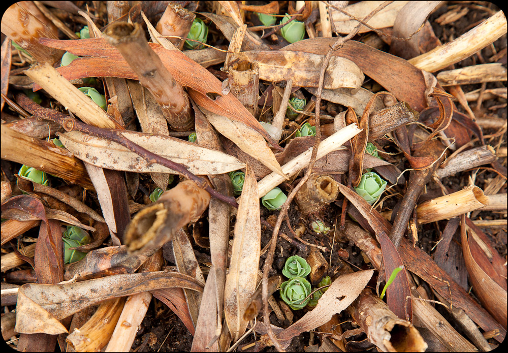 New shoots emerging through brown old and almost woody stems.