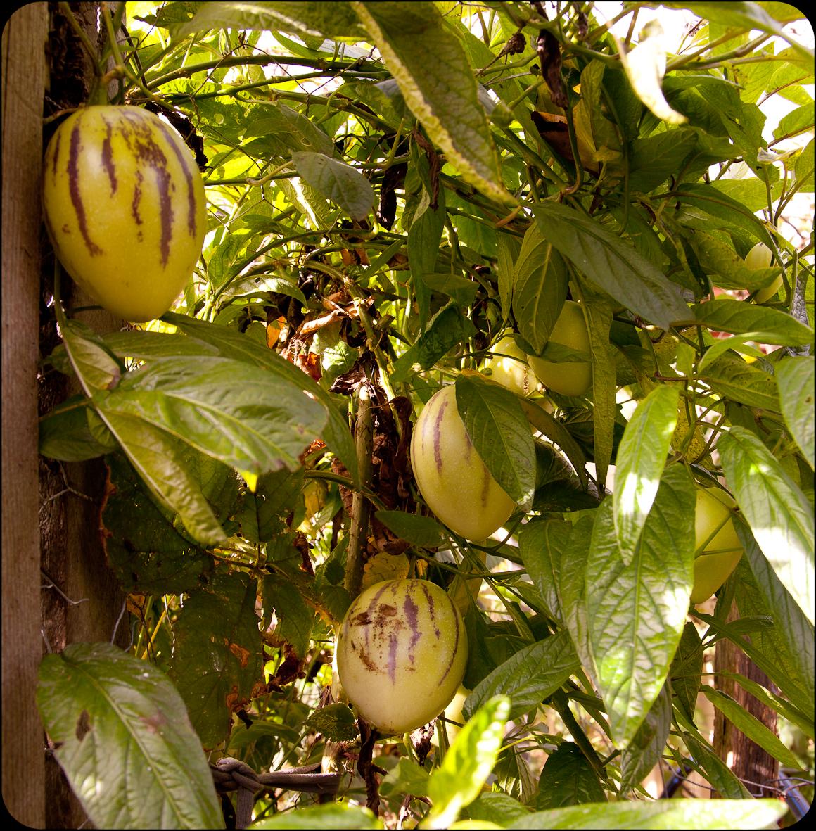 Abundant crop of Pepinos in our Reservoir Garden.