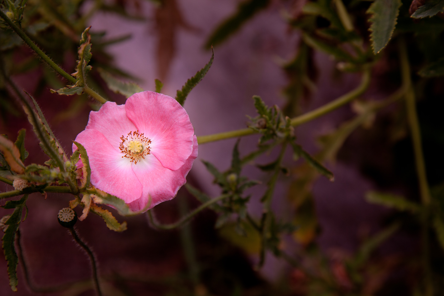 Rosa is the word for pink in Italian.