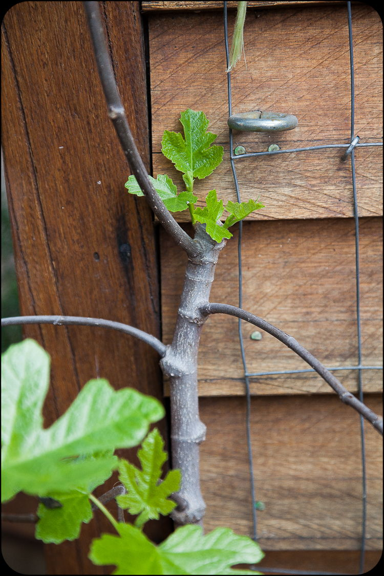 New leaves on the recently pruned fig.