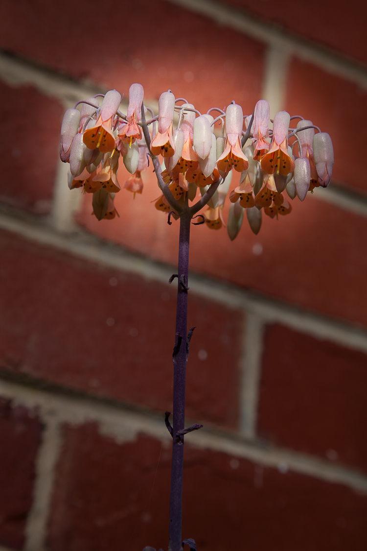 Bryophyllum fedtschenkoi flowers?