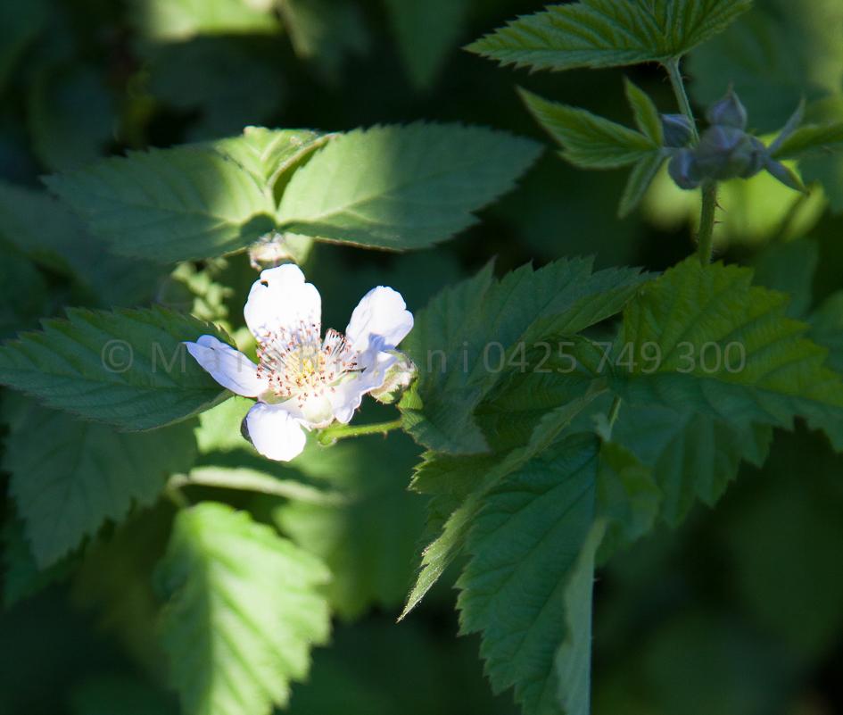 Boysenberry flowers..hmmm I have yet to net them...hmmm