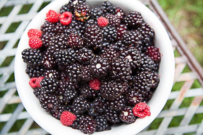 Boysenberry Harvest