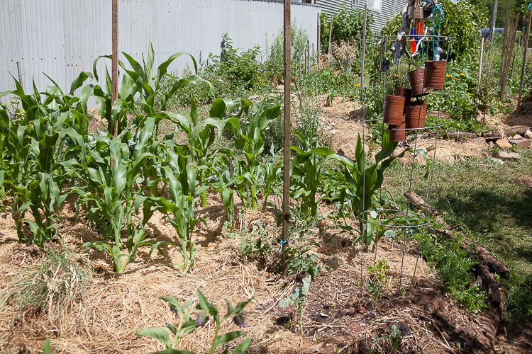 Mulched soil and corn plants. Mulch provides soil carbon, water proofing and food for microbes.