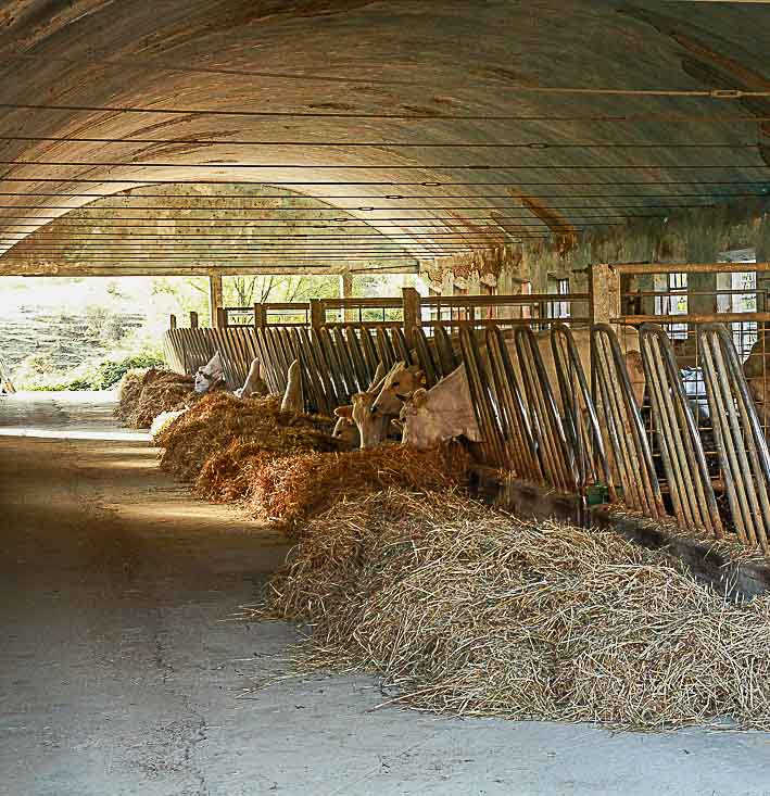 Farm cattle in an old barn of timeless beauty. The breed of cattle is called Chianina.
