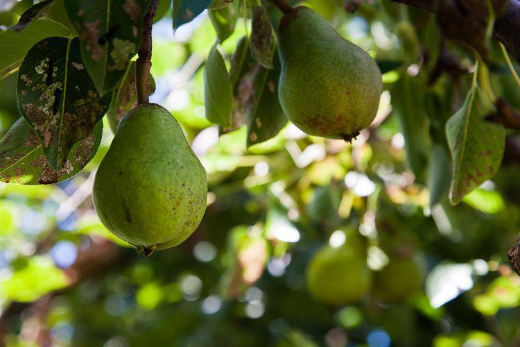 Pears and cherry slugs.