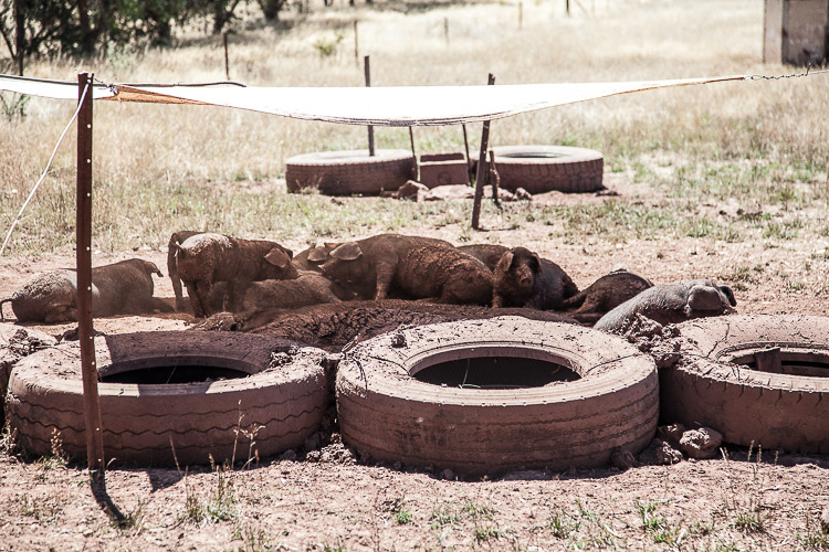 Shade and mud. Young tress in the background will soon provide shade for growing pigs.