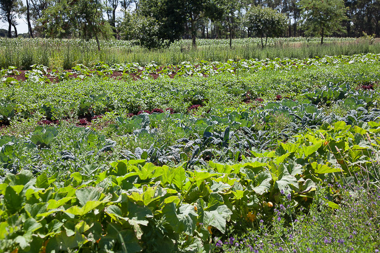 A beautiful view, of rows of vegetables.