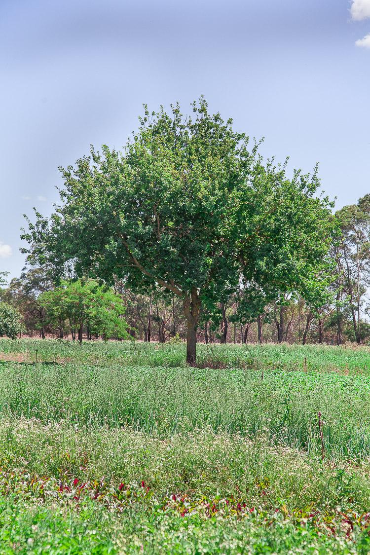 Trees inter-planted among vegetable paddocks.