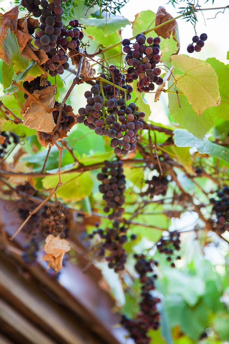 The grape vine provides delicious grapes and is an important shade cover from the setting sun.