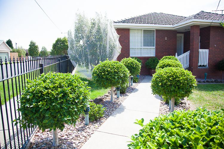 At a nearby home a pear tree has matured and its residents have keenly covered its fruit.