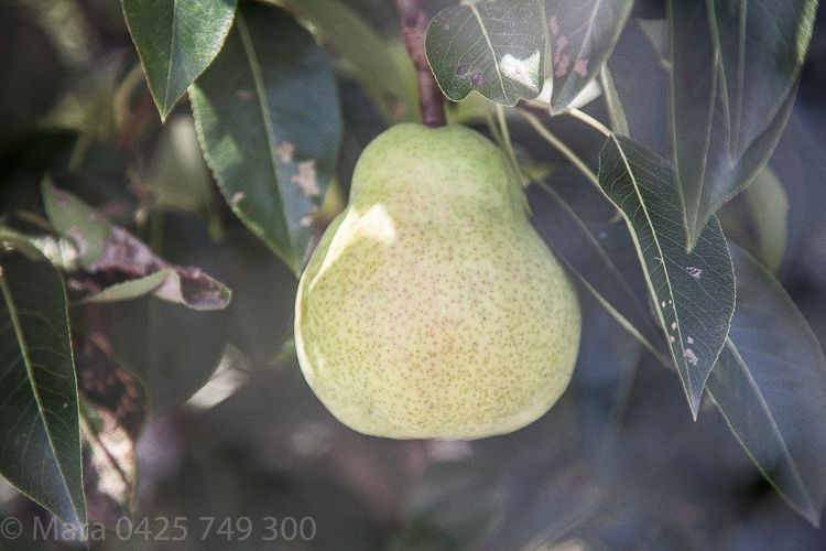 From behind the bird netting healthy beautifully formed pears nest.