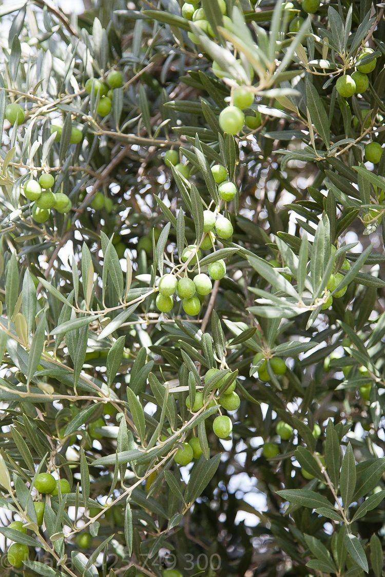 Olive grove detail.
