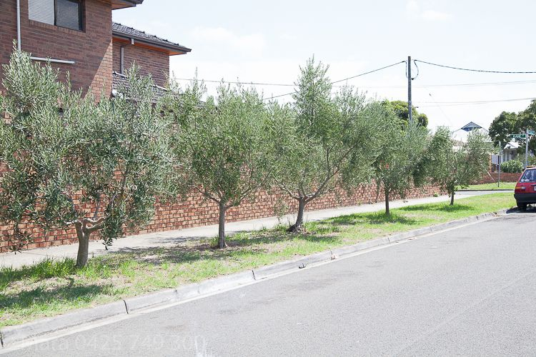 This resident has made the most of the nature strip and planted olives which need no protection at all.