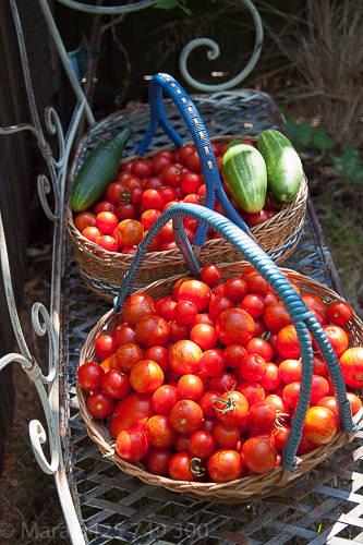 Tomato harvest March 2015.