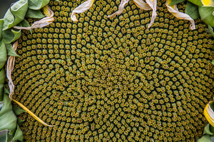 Look at all the tiny flowers that make up this inflorescence. The head of a sunflower is not one flower but hundreds. Each small flower will produce one sunflower seed.