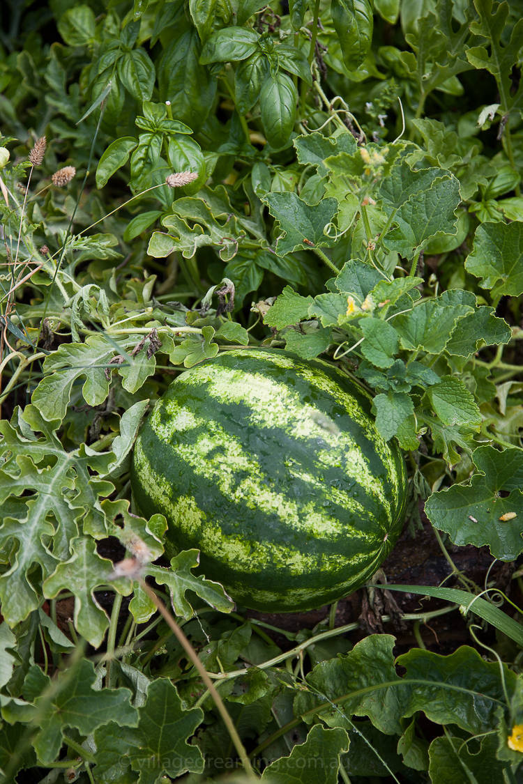Watermelon growing in Blampied's cool temperate climate. The timing of planting is so tight here. With a tiny window of warm weather it is important to sow seeds the very second that warm weather speaks.