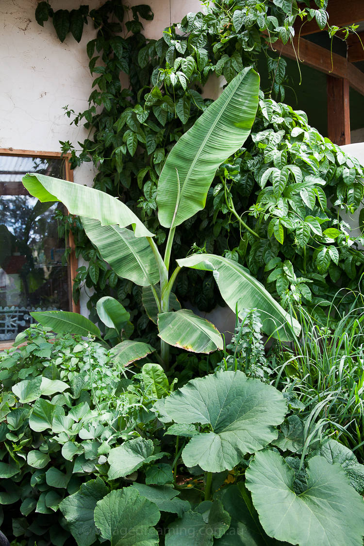 In this corner, a banana palm, sweet potato, lemongrass, a climbing passion fruit and pumpkin which lead to an outdoor bathroom!