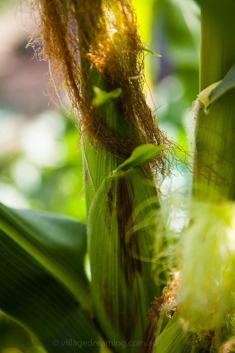 Corn detail.