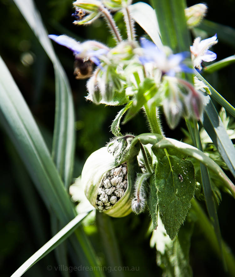Seed head onion.