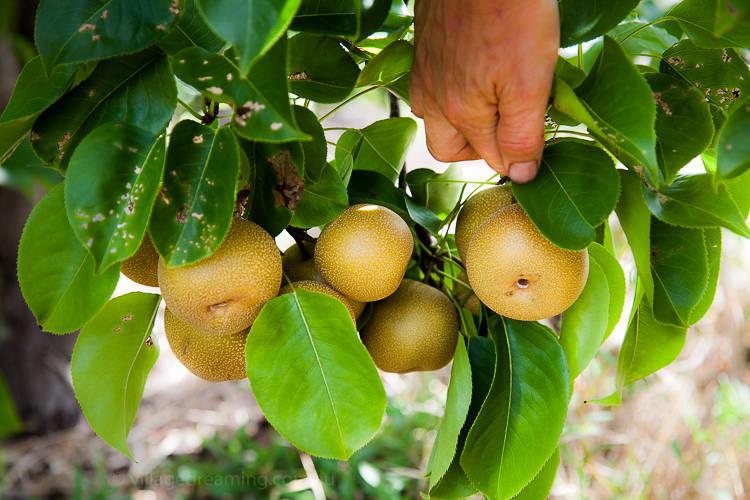 Asian Pear.