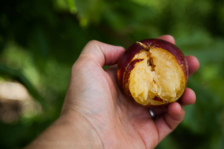 As I photograph I stop to eat a plum and then an Asian pear.