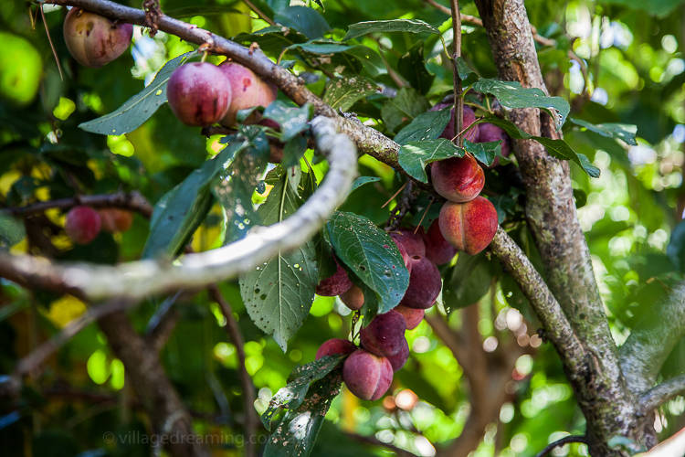 With pendulous plums and ...