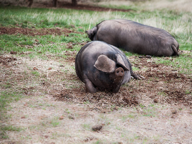 Out in the paddocks a drift of pigs.