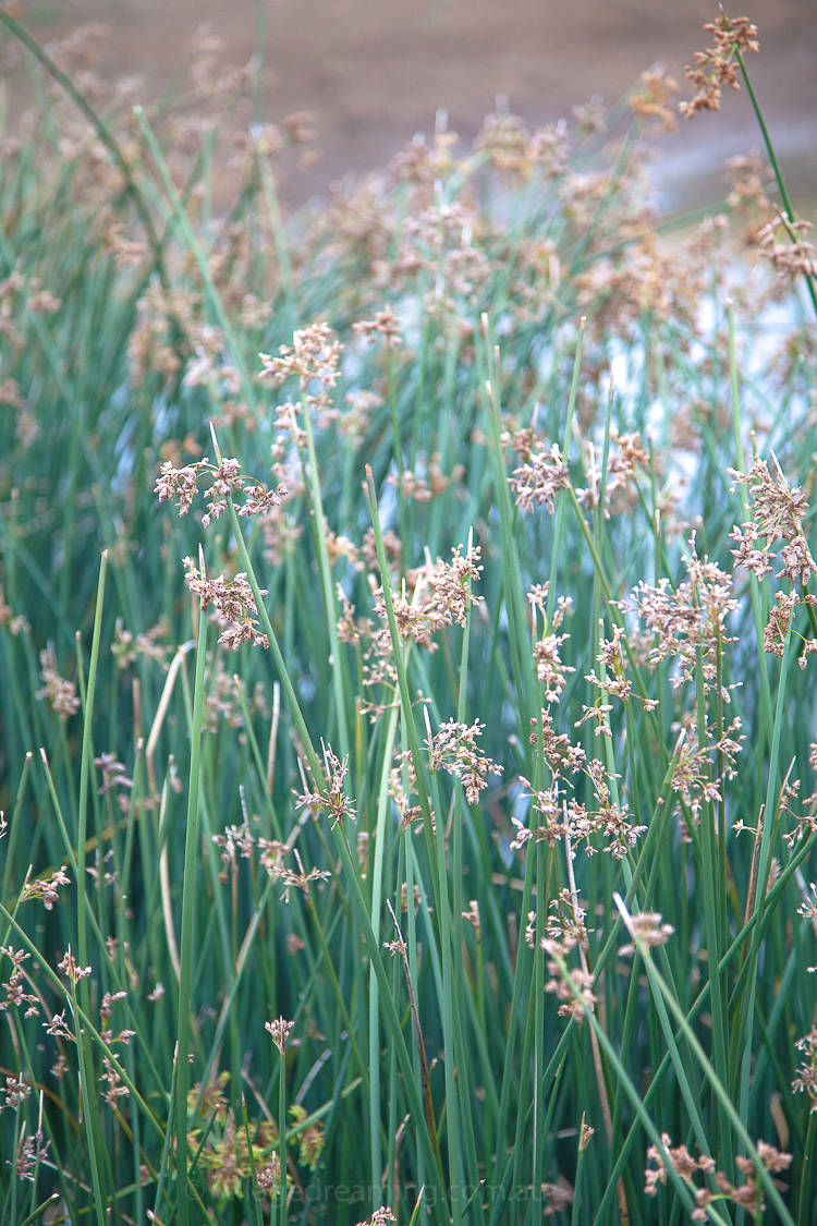 In the meanwhile the wetland plants are looking very beautiful and they bring me much joy.