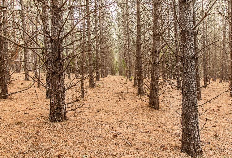 Pine mushroom forest, Eganstown, Victoria.